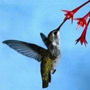 Hummingbird Fuel E-Juice